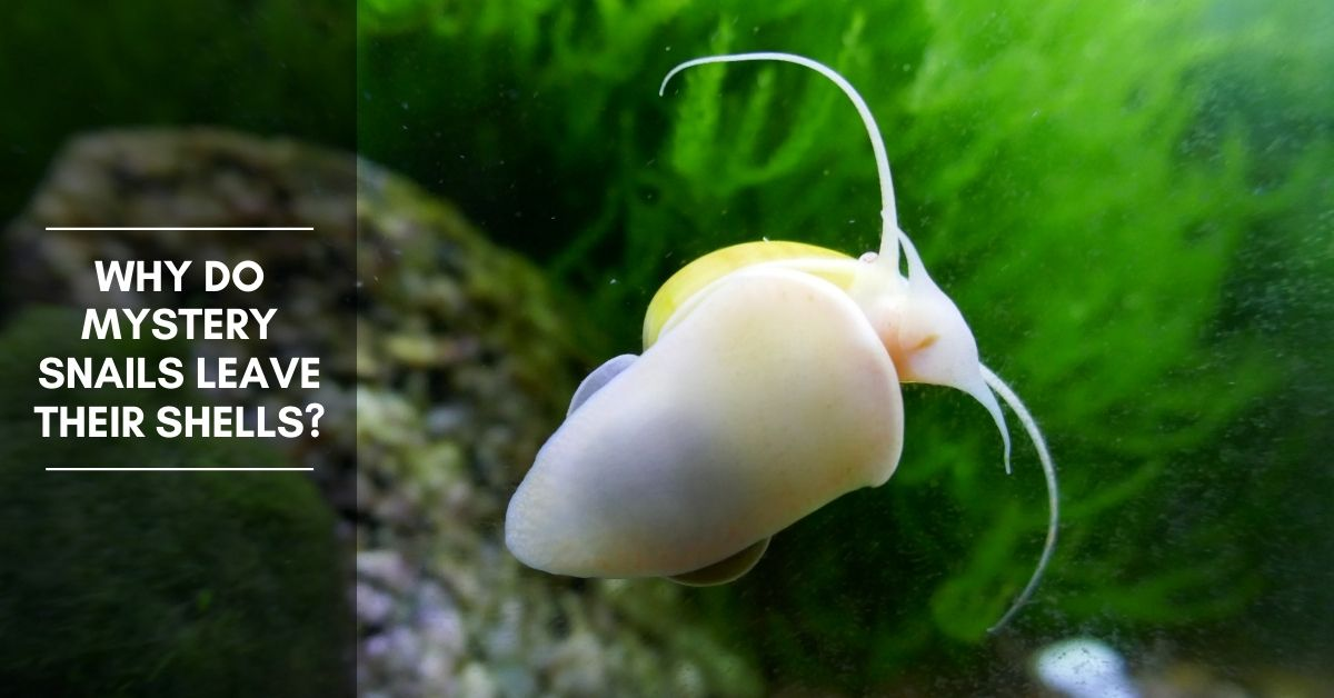 Why Do Mystery Snails Leave Their Shells?