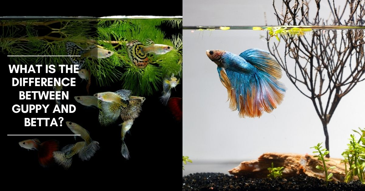 What Is the Difference Between Guppy and Betta?