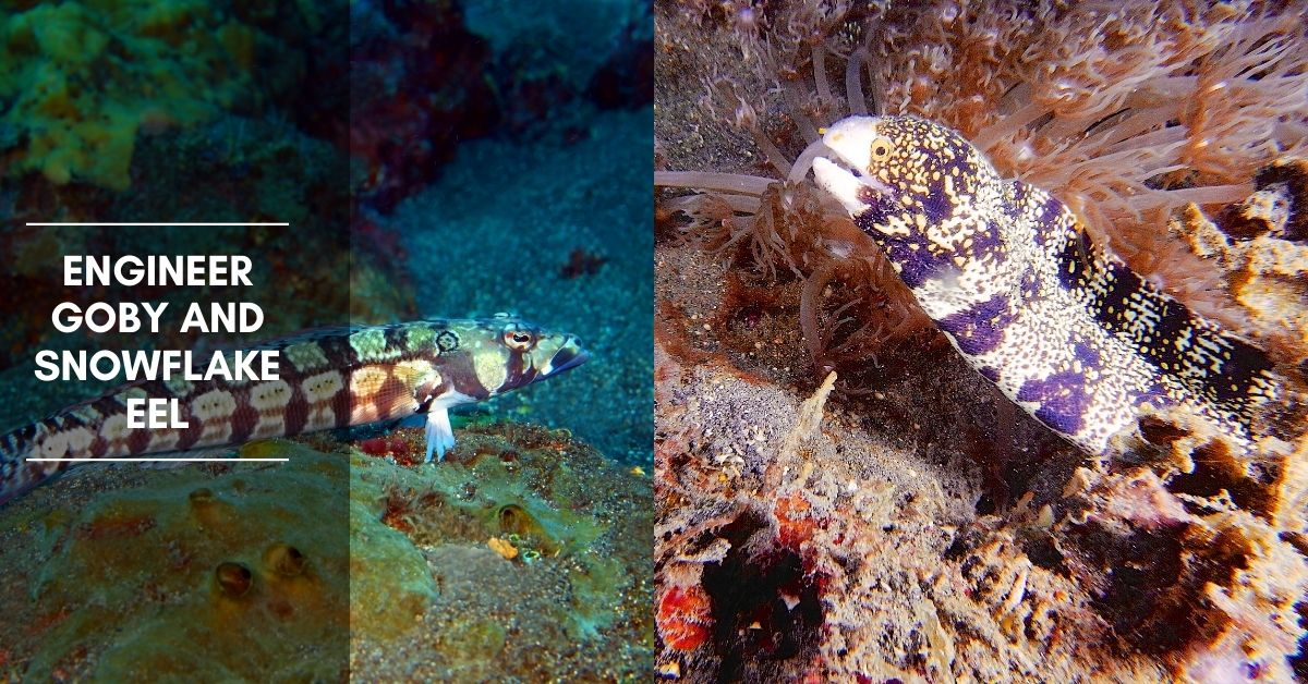 Engineer Goby and Snowflake Eel: Do They Get Along in the Same Tank?