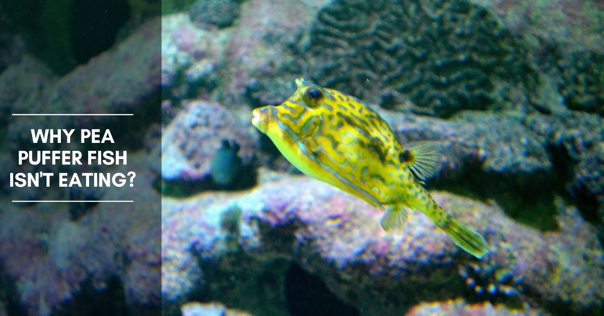 Why Pea Puffer Fish Isn't Eating?: A Guide to Diet