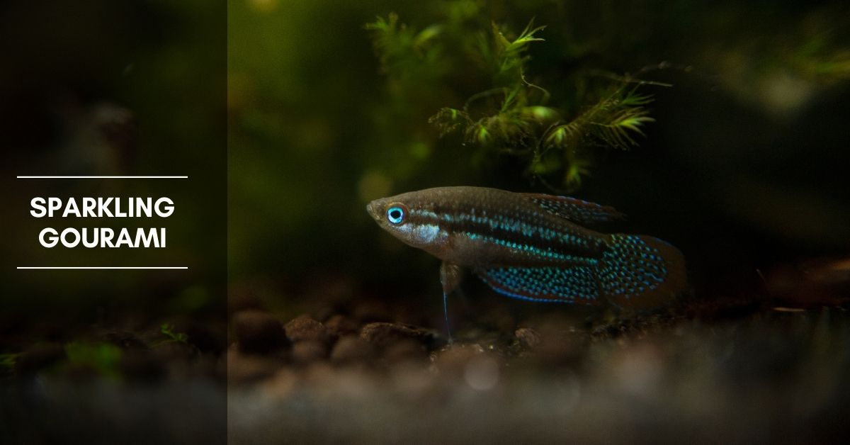 Sparkling Gourami Complete Guide: Care, Diet, and Breeding